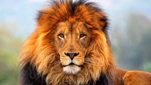 गिर के शेर