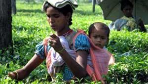 चाय उद्योग