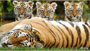 बाघ के शावक