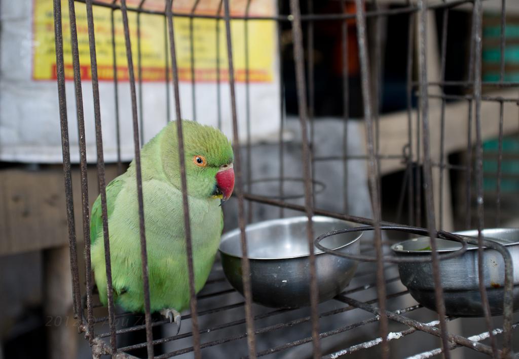 पिंजरे में तोता