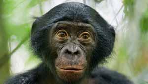 बोनोबोस बंदर