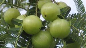 आंवला का पेड़