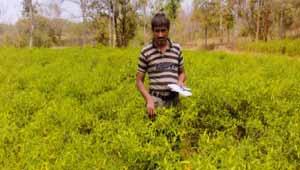 मिर्च की खेती