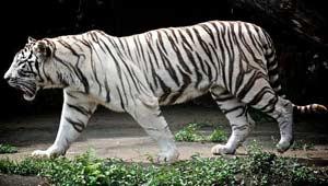 सफेद बाघ