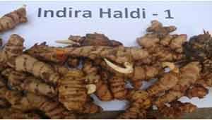 इंदिरा हल्दी -1