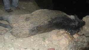जंगली सूअर