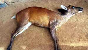 कोटरा-छोटा हिरण