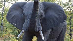 दंतैल हाथी