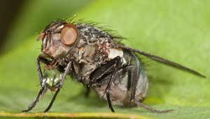 मक्खी