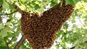 मधुमक्खी का हमला