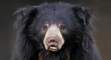 भालू को सीआरपीएफ ने मार डाला
