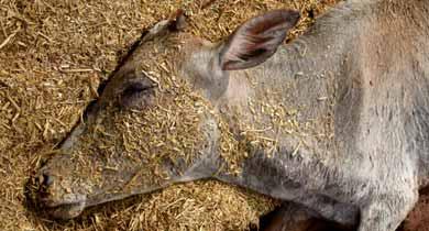 छत्तीसगढ़ की गौशालाओं में गायों की मौत