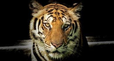 बाघ का शिकार