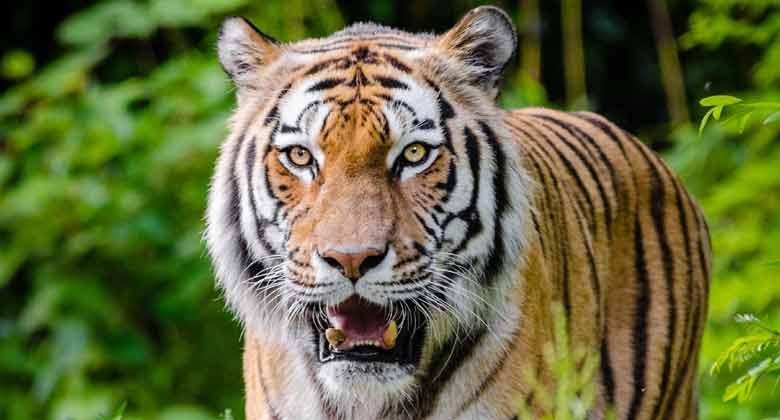 छत्तीसगढ़ में बाघ का शिकार